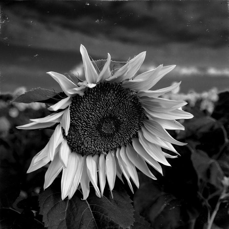 Sunflower by Ivan Popov on 500px