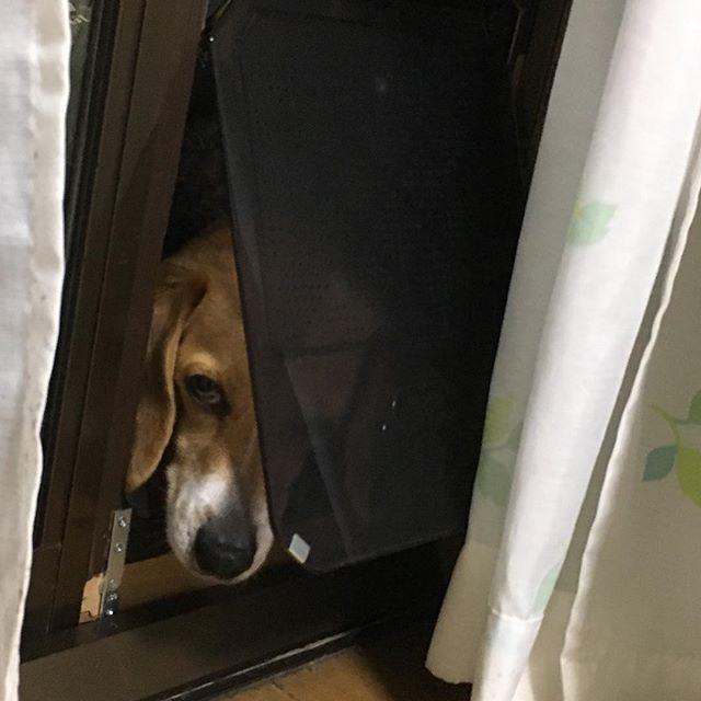 * こてつはさっきからずっと中の様子をうかがってます。  何で? * #こてつ#こてっちゃん#愛犬#食いしん坊#kotetsu#beagle#ビーグル#ビーグル犬 * *