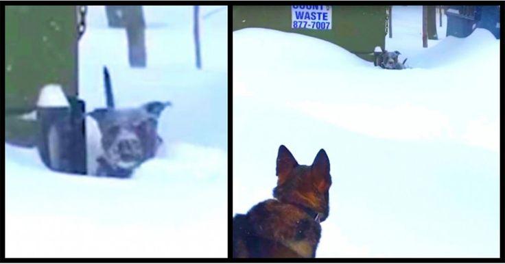 Σκύλος είχε κολλήσει στο χιόνι μέχρι που τον είδε αυτός ο Γερμανικός Ποιμενικός και τον έσωσε Crazynews.gr