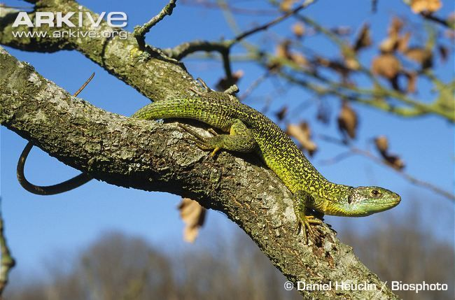 Sand lizard videos, photos and facts - Lacerta agilis | ARKive