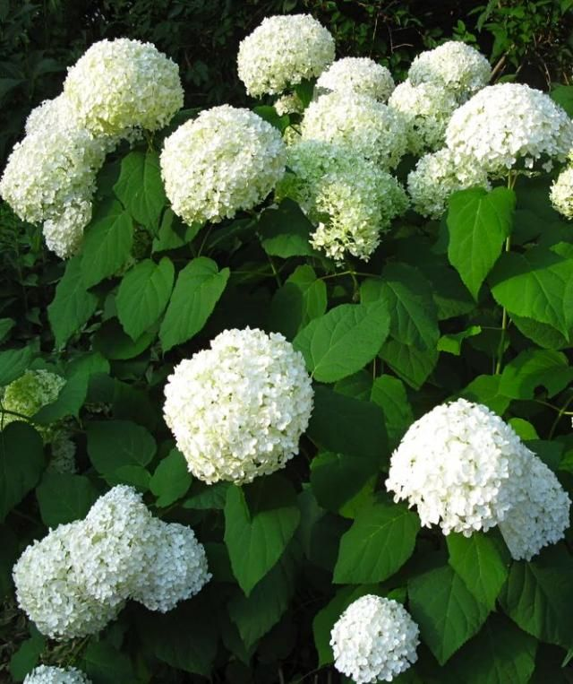 First, some structure. At the front of a perennial border, a shrub like Hydrangea arborescens 'Annabelle' will boss around lacier flowers with its blowsy pompons. But in a nice way. Like many woody shrubs, it may take a couple of years to get established; available seasonally ($18.95 from Wayside Gardens). Image via White Swan.