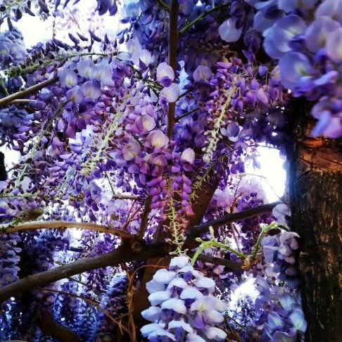 Primavera, Septiembre en Tranquilla, Chile