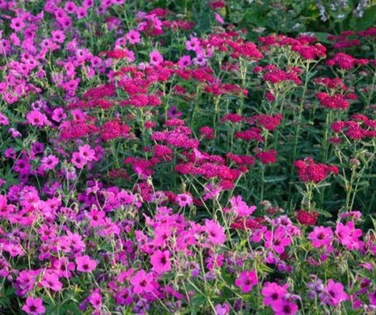 Eine gekonnte Ton-in-Ton-Kombination bilden der pinkfarbene Armenische Storchschnabel (Geranium psilostemon) und die Schafgarbe 'Sammetriese' (Achillea millefolium) in dunklem Ziegelrot.