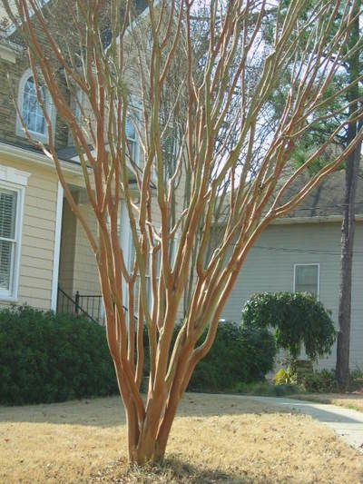 How to prune a crepe myrtle - late winter best time (Feb/March)