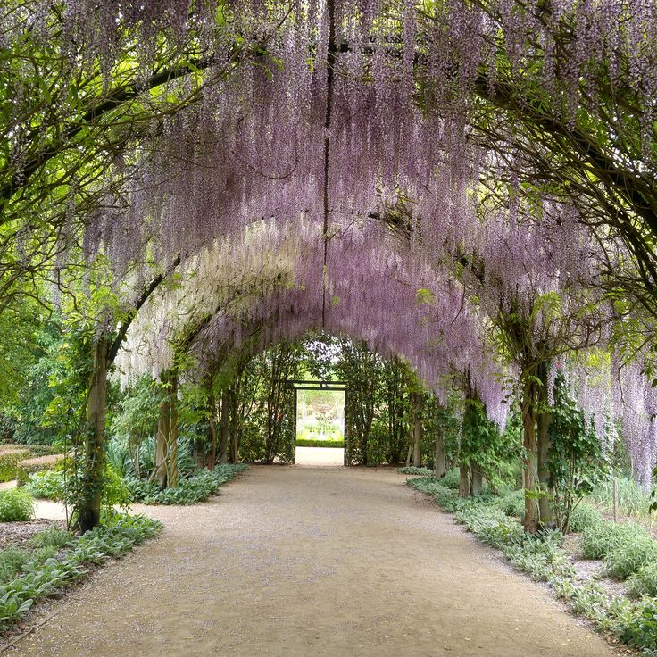 The beautiful Wisteria at Alowyn Gardens, in the heart of the Yarra Valley.  yarravalleylife