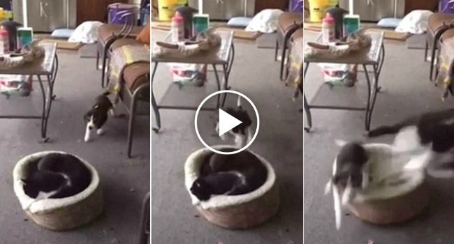 Sonolento Gato Tem o Susto Da Sua Vida De Ser Repentinamente Acordado Por Cão