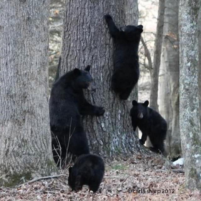 17 Best Images About Black Bear S On Pinterest Brown