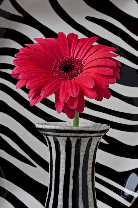 red, black and white . Gerbera Daisy In Striped Vase Print By Garry Gay