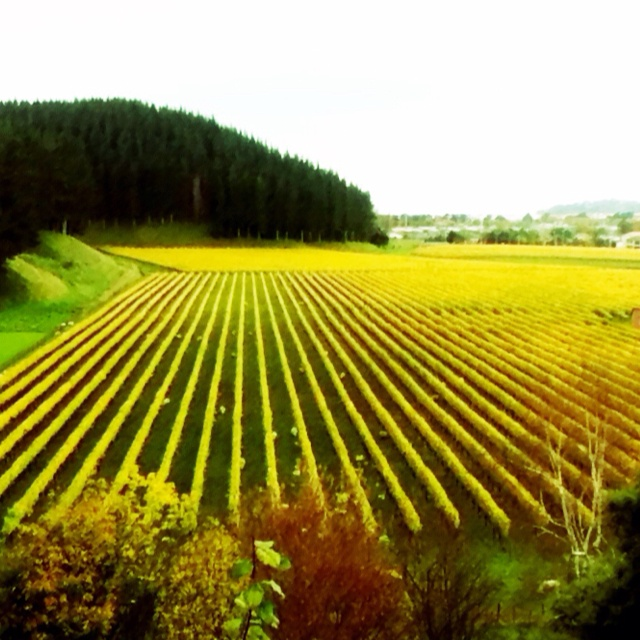 Autumn colours at The Mission winery, Hawke's Bay, New Zealand.