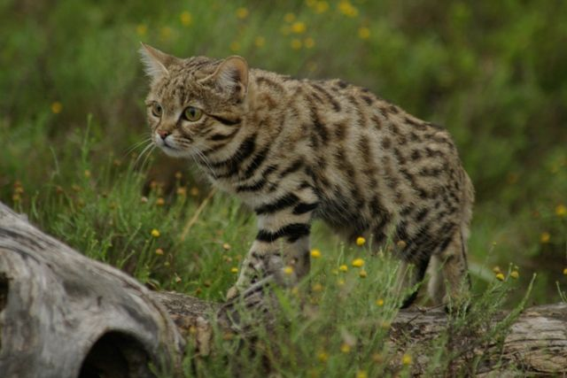 Small Spotted Cat (Black Footed Cat) at Predatours Wild Cats