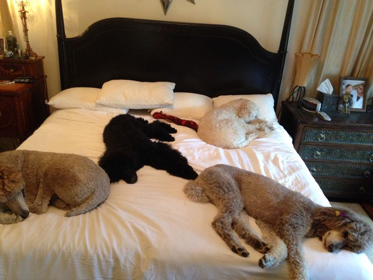 It's a poodle thing !!! You wouldn't understand #raisingourstandards Poodle house .. We just live here ! Standard poodle
