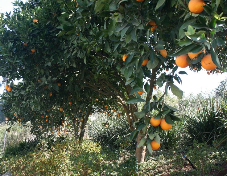St Clements is set within and Orange Orchard