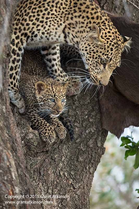 A leopardess named Fig with one of her two cubs in the Olare Orok Conservancy, Masai Mara National Park, Kenya by Atkinson Photography and Safaris Book a photographic trip via his website
