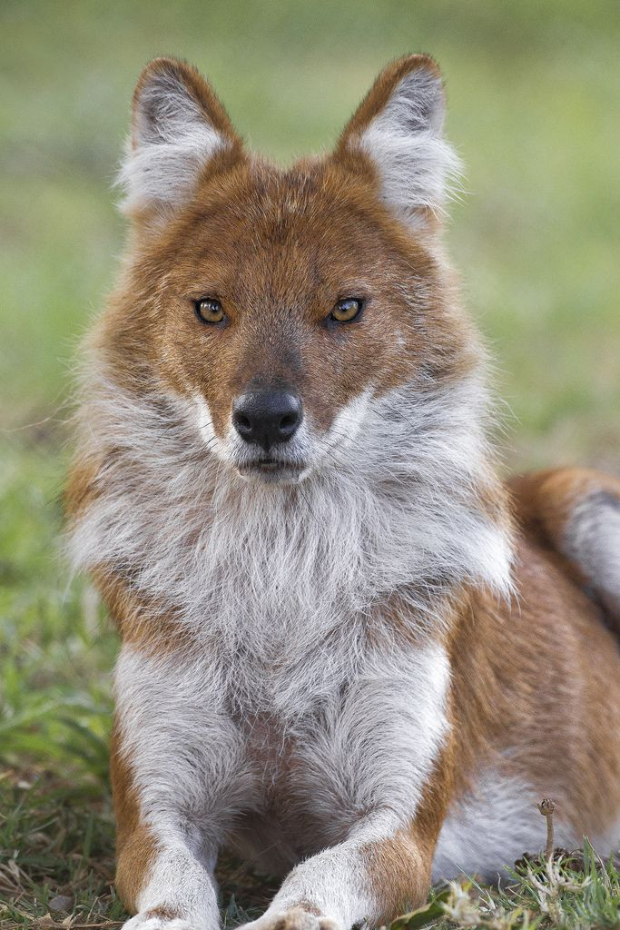 Dholes are social wild dogs classified as endangered largely due to loss of habitat and lack of available prey. www.sandiegozoo.org