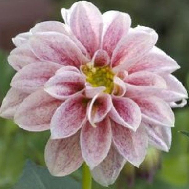 17 best poisonous flowers images on pinterest poisonous plants pink dahlia flower great picture for making a fondant flower for the top of a cupcake mightylinksfo