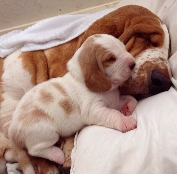 Sexy bassett hound lick