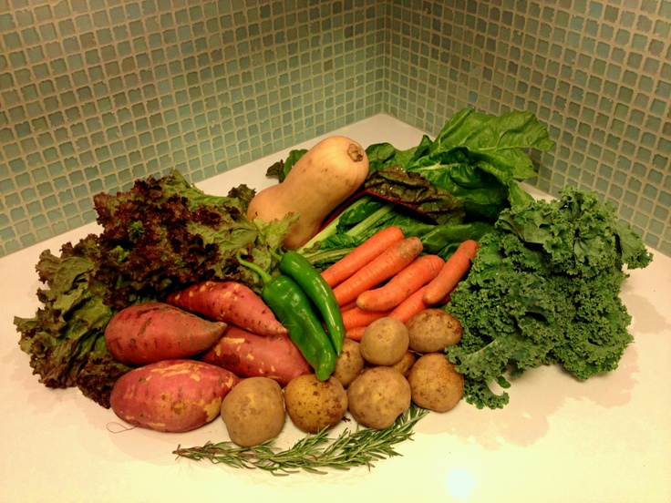 CSA this week: kale, chard, lettuce, a big butternut squash, potatoes, four huge sweet potatoes, carrots, peppers and a sprig of rosemary.: Butternut Squash
