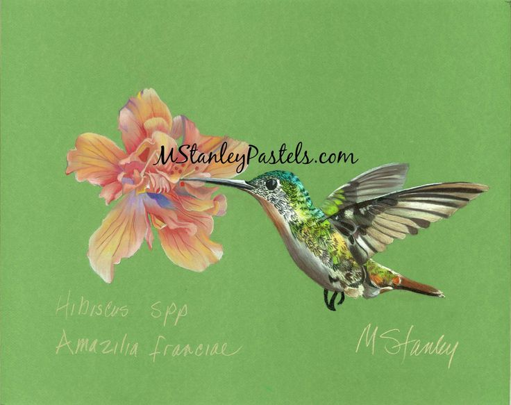 Pastel drawing of hummingbird Amazilia franciae. Wish to purchase it? Please go to http://www.etsy.com/shop/mstanleypastels