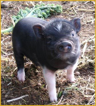 One day I will have a Mini Potbelly Pig named Hamlet as a pet.