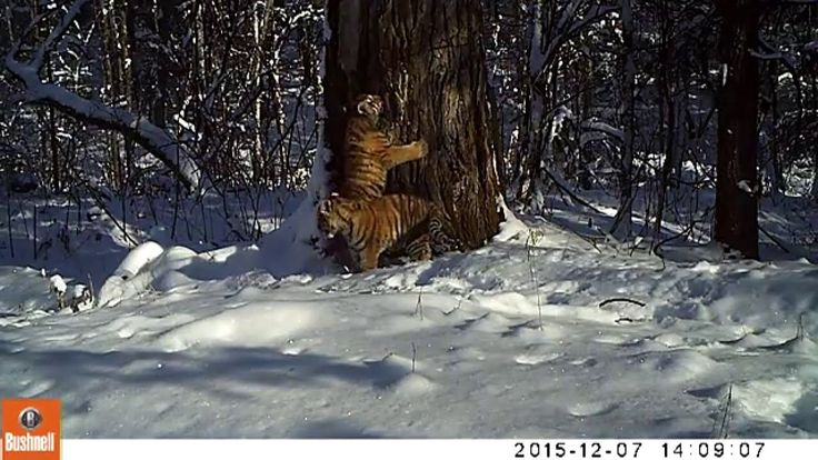 "AMUR TIGER CINDERELLA BECOMES A MOTHER! Published on Dec 10, 2015  WCS and partners report the news from Bastak Reserve, a 162 square mile (420 km2) protected area in the Pri-Amur region of the Russian Far East, where a tiger cub who lost her mother and nearly died, became a ""Cinderella"" and is now a mother."