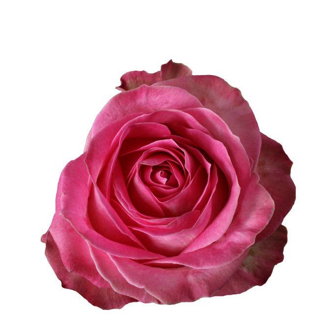Rose Avalanche E Ortensie : Rosa candy avalanche g fresh grower v d berg roses