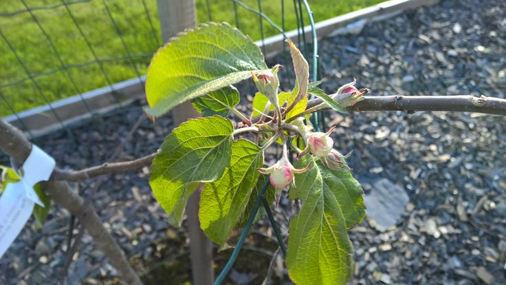 Apple tree starting to blossom