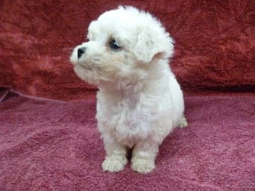 I am a registered breeder with DogsNSW (Royal NSW Canine Council) . My registration number is 2100000074. I have a litter of puppies born on the 27th March, both males and females available. They will be ready to go on the 22nd May. Deposits are now being taken - http://www.pups4sale.com.au/dog-breed/421/Bichon-Frise.html