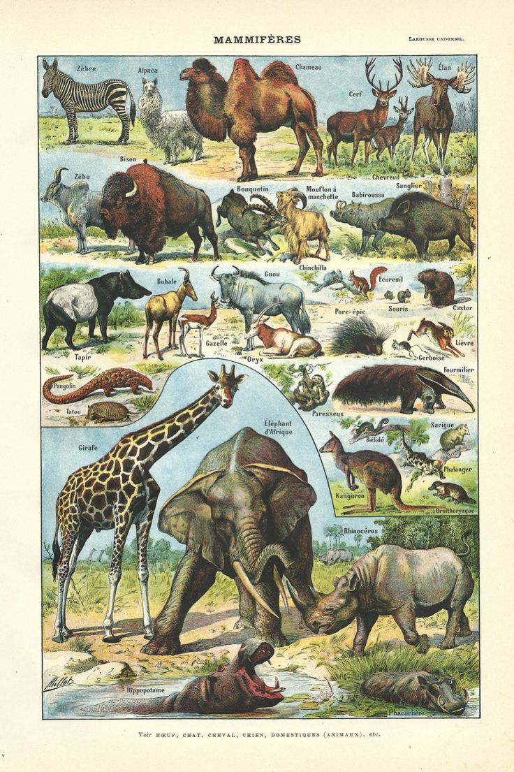 1930 Mammif 232 Res Animaux Sauvages Illustration Originale