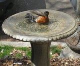 American robin in birdbath. What type of birdbath should you have for different backyard birds? Check here!