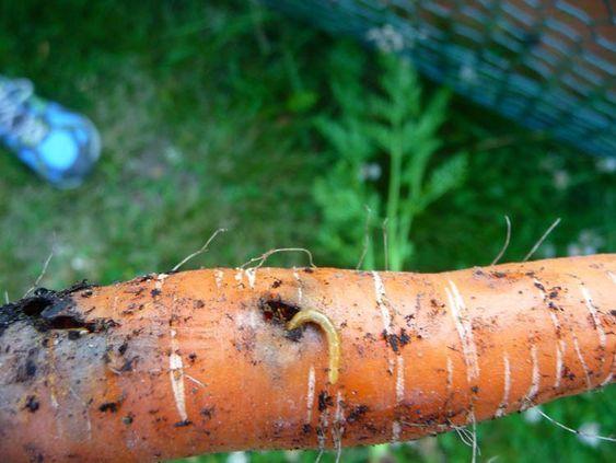 Как избавиться от проволочника в огороде быстро и навсегда | DomoKed.ru