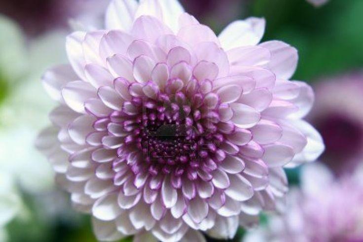 Flor: Crisantemo Foto de archivo - 4588258