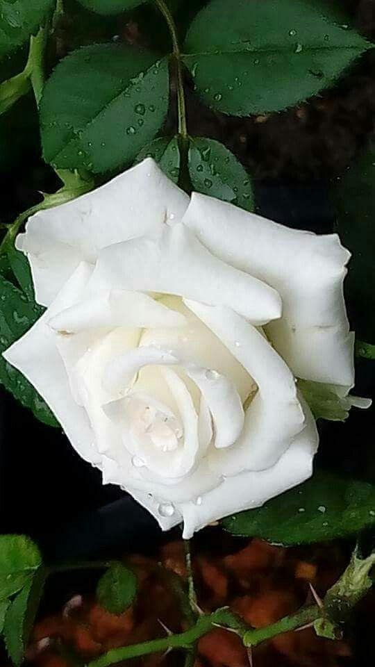 White rose, single beauty