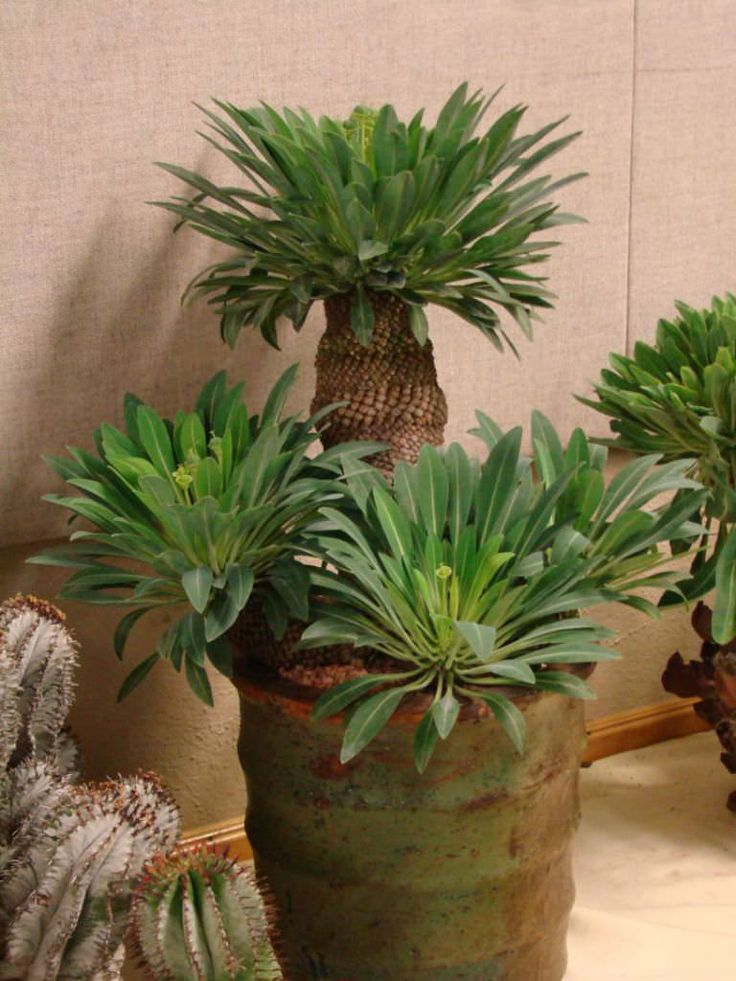 Euphorbia bupleurifolia - Pine Cone Plant is a caudiciform Euphorbia that develops a fat caudex topped with a tuft of long leaves. Stem has spirally...