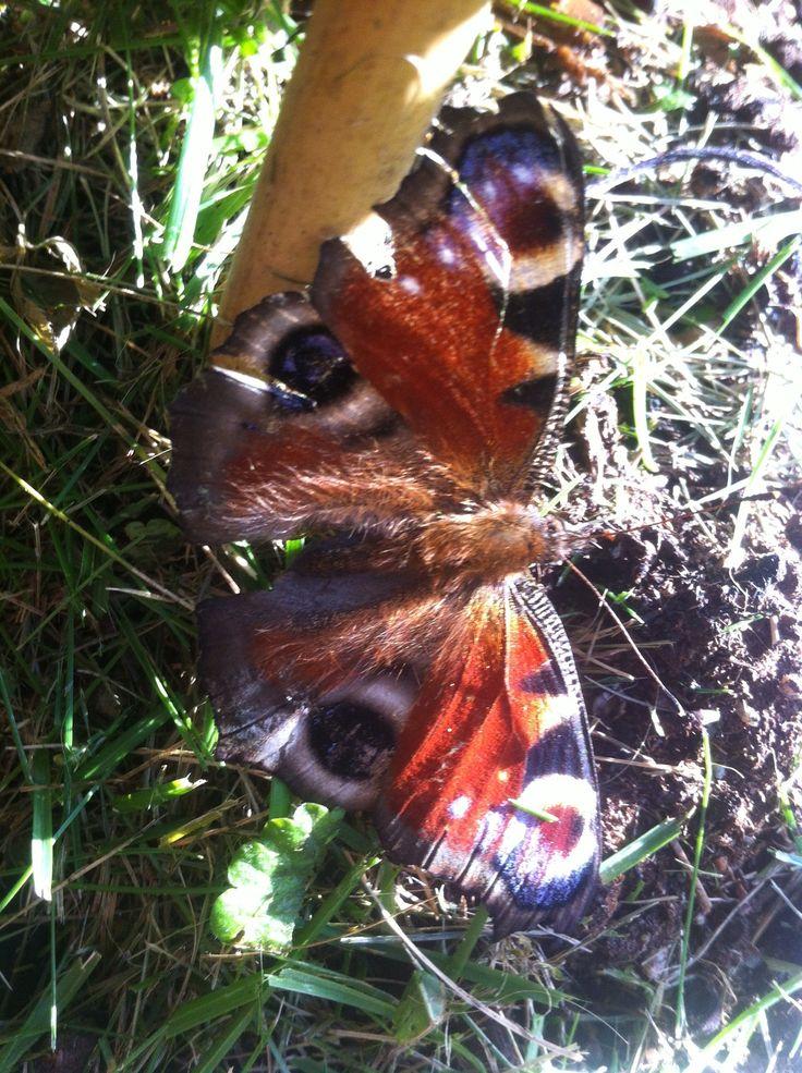 Neitoperhonen - Nymphalis io - Peacock Butterfly