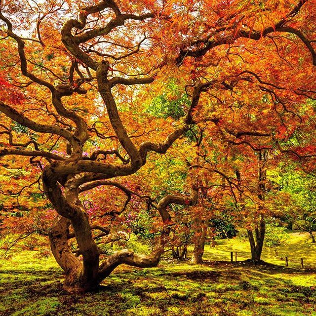 The #burning #bush #fallcolors #america #seattle #pcnw #pacificnorthwest #travel #washington #seattle #japanesegarden #japanesedesign #自然 #紅葉 #アメリカ #シアトル #旅行 #timfranklinphotography #instagood #instafollow