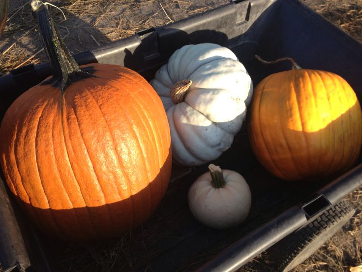 Pumpkins in the fall
