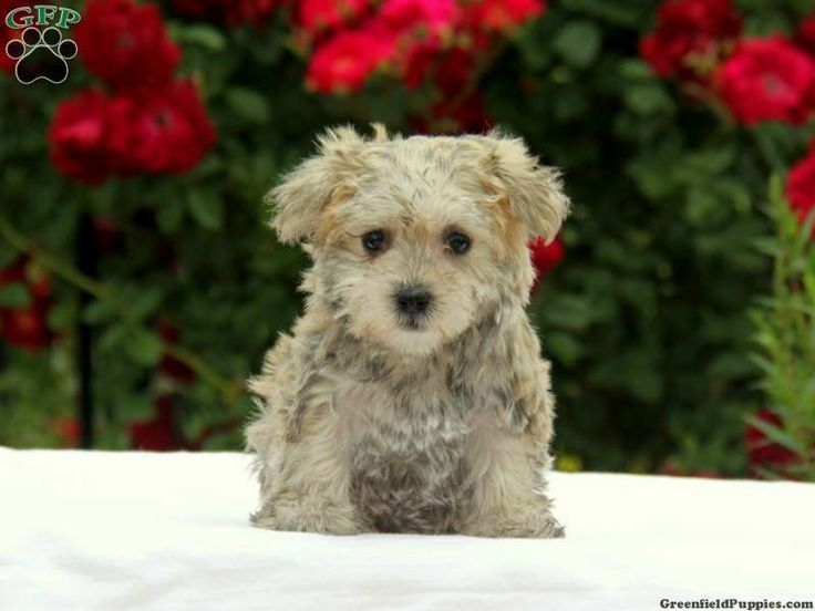 Kandy, Maltese Mix puppy for sale in Ephrata, Pa Puppies