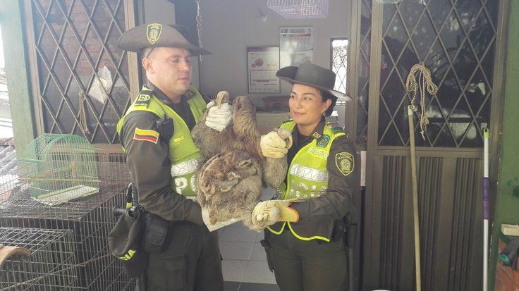 Una mujer entregó voluntariamente este oso perezoso y su cría a la Policía Ambiental. Un aplauso para esta ejemplar ciudadana.