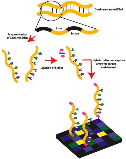 Exome sequencing workflow: Part 1.