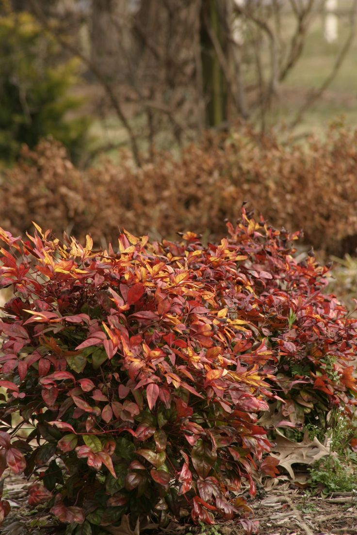 best 25 nandina plant ideas on pinterest fall container plants