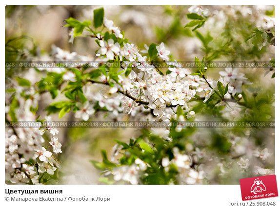 Цветущая вишня © Manapova Ekaterina / Фотобанк Лори