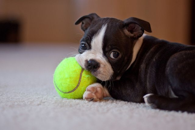 Boston Terrier Puppy by Adam Pflum Photography, via Flickr