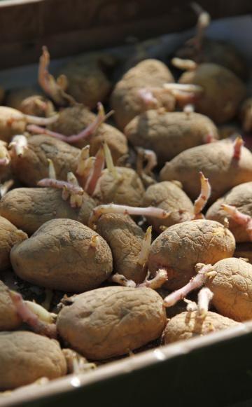 Kartoffeln haben eine sehr kurze Kulturdauer und sind eines der wichtigsten Nahrungsmittel. Die leckeren Erdäpfel eignen sich nicht nur für den Anbau im eigenen Garten, sondern gedeihen in Pflanzsäcken auch auf Balkon und Terrasse.
