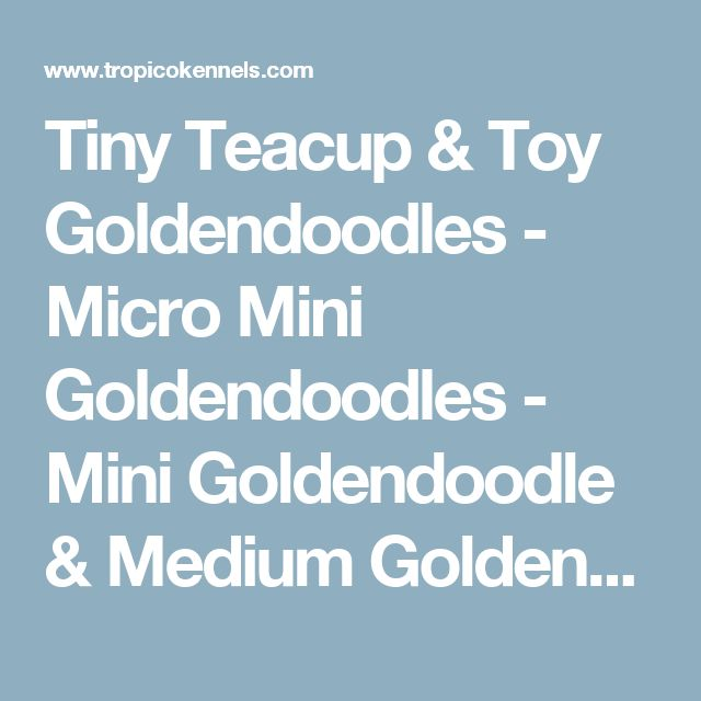 Tiny Teacup & Toy Goldendoodles - Micro Mini Goldendoodles - Mini Goldendoodle & Medium Goldendoodle Puppies For Sale in Los Angeles County Southern California - F1B English Teddy Bear Goldendoodle Puppies For Sale In The Sunny South Bay - Mini Goldendood