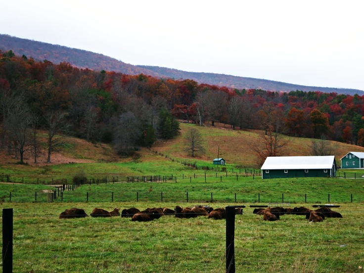 hollow hill buffalo farm, paint bank, va