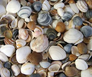 How to clean my Seashells for display.