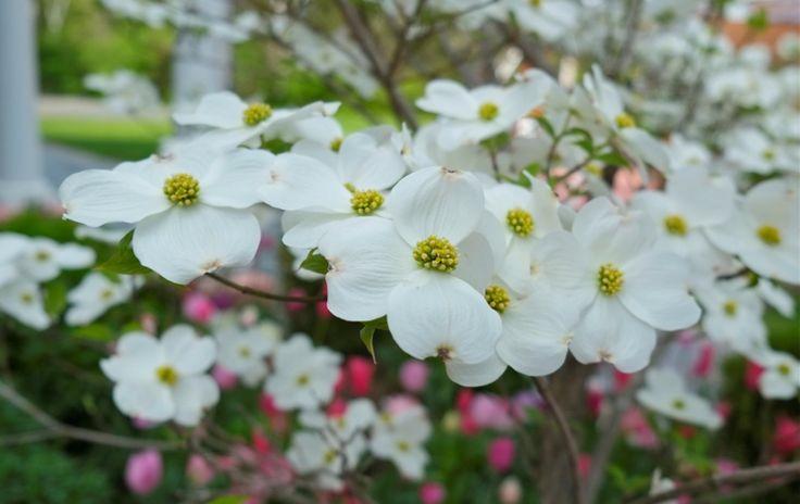 hartriegel-garten-anlegen-fruehling-landschaftsbau-tipps-huebsch-pflanze-baum
