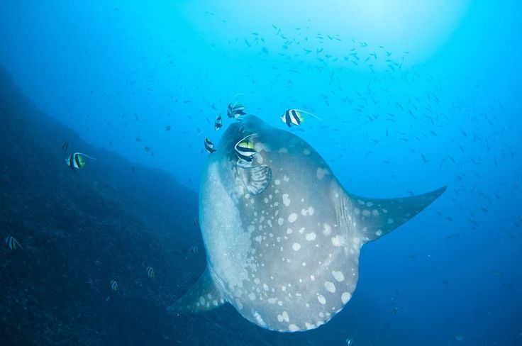 One of the cutest giant underwater #molamola