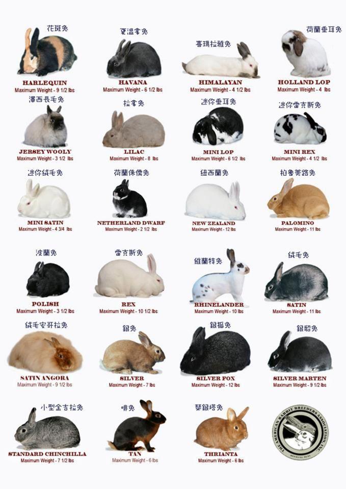 rabbit breed chart | Animals | Pinterest