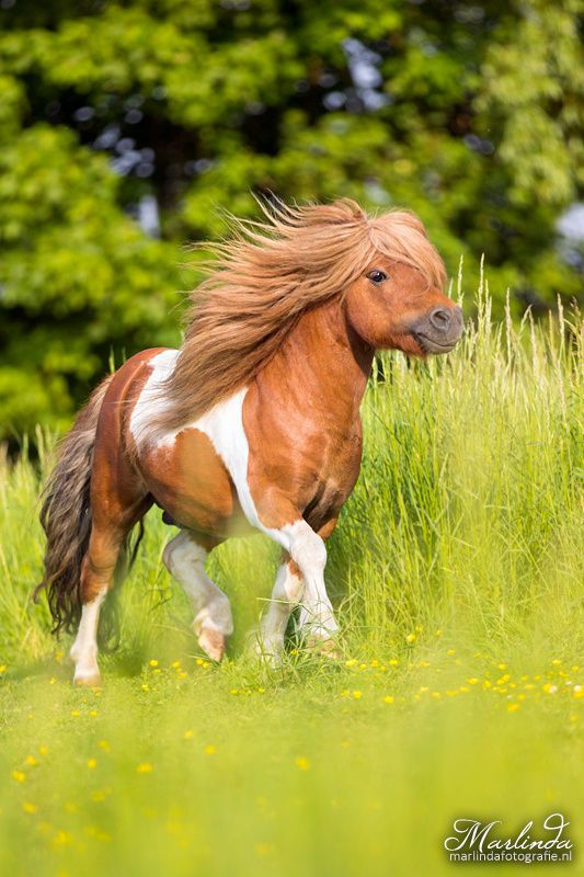 Pinto/Paint Shetland pony stallion - title Joy - by Marlinda van der Spek